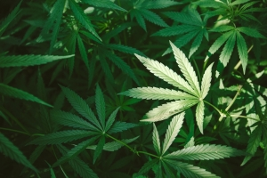 marijuana use and child custody battles
